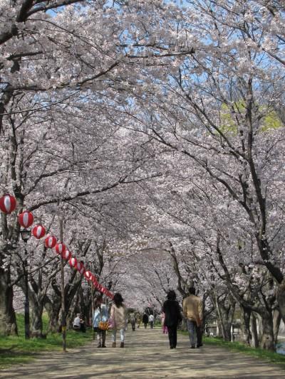 酒津土手の桜並木