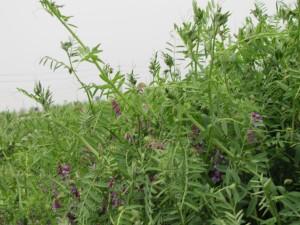 まめ農園の緑肥栽培(ヘアリーベッチ)